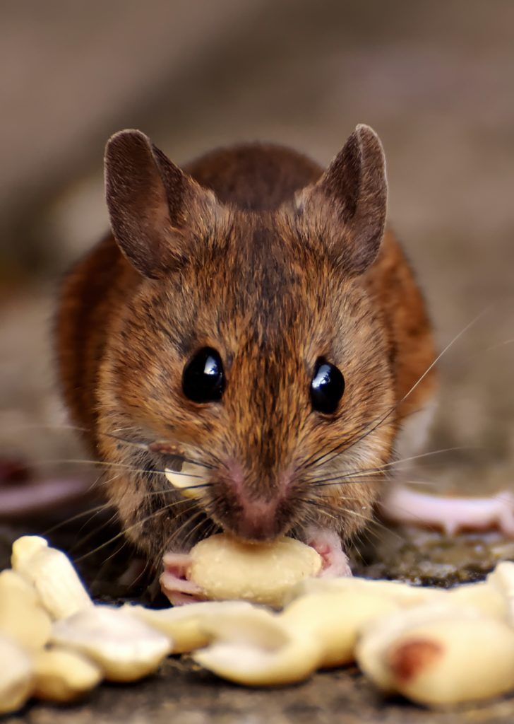 rodent-control-sydney