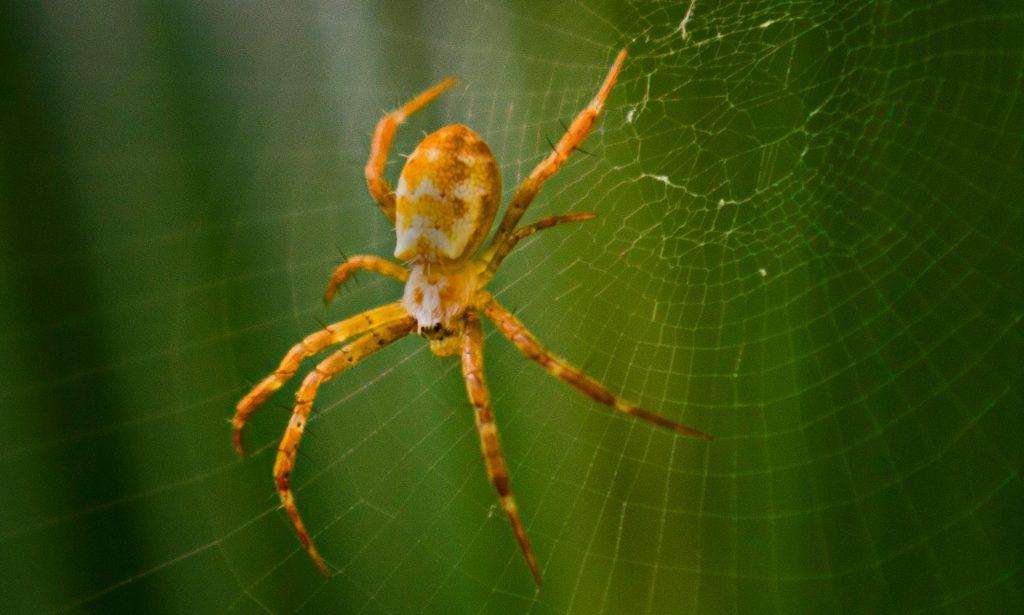 spider control sydney